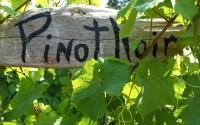 Pinot_Noir-2